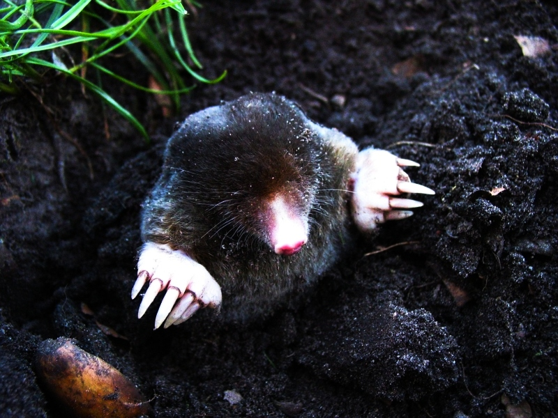 Get Rid Of Moles Burrowing Animals With Dawn Dish Soap Frugal
